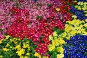 Фото 17 Примула многолетняя, посадка и уход (60 фото): как вырастить цветы небесной красоты
