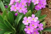Фото 8 Примула многолетняя, посадка и уход (60 фото): как вырастить цветы небесной красоты