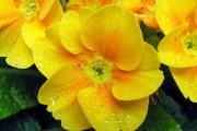 Фото 4 Примула многолетняя, посадка и уход (60 фото): как вырастить цветы небесной красоты