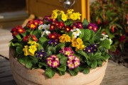 Фото 19 Примула многолетняя, посадка и уход (60 фото): как вырастить цветы небесной красоты