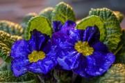 Фото 14 Примула многолетняя, посадка и уход (60 фото): как вырастить цветы небесной красоты
