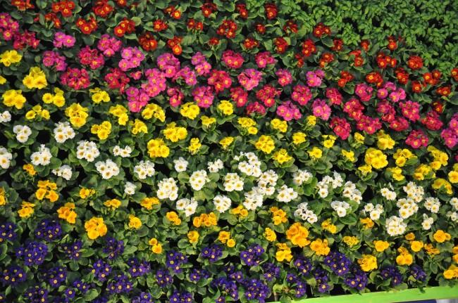 Великолепный цветочный ковер из примулы