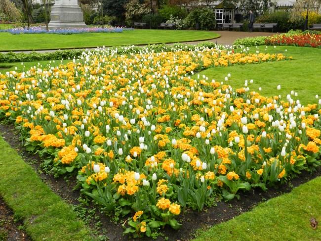 Прекрасная клумба с желтой примулой и белыми тюльпанами