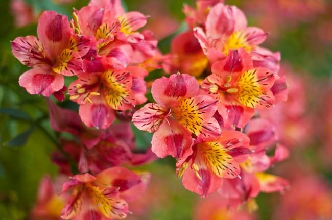 Альстромерии выращивают во всём мире как красивоцветущие декоративные растения — в первую очередь на срезку, реже - как садовые растения