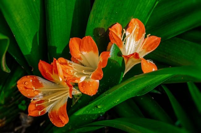 """Род Альстромерия был назван Карлом Линнеем в честь своего ученика барона Класа Альстрёмера (1736—1794), шведского ботаника. Правильнее в русском языке эти цветы называть """"альстрёмерия"""", но прижился и первый указанный здесь вариант"""