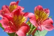 Фото 3 Альстромерия (50 фото): яркая и привлекательная лилия инков