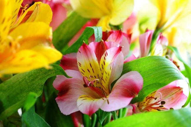 Окраска лепестков альстромерии - самая разная: жёлтая, красная, розовая, белая, нередко с пятнами (обычно жёлтыми)