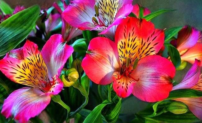 Альстромерия - род южноамериканских корневищных и клубневых красивоцветущих травянистых растений из семейства Альстромериевые, насчитывающий около 50 видов