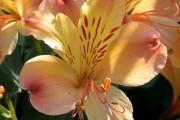 Фото 15 Альстромерия (50 фото): яркая и привлекательная лилия инков