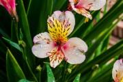 Фото 13 Альстромерия (50 фото): яркая и привлекательная лилия инков