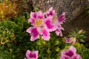 Фото 8 Альстромерия (50 фото): яркая и привлекательная лилия инков