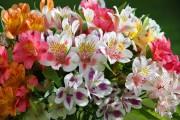 Фото 5 Альстромерия (50 фото): яркая и привлекательная лилия инков