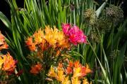 Фото 21 Альстромерия (50 фото): яркая и привлекательная лилия инков