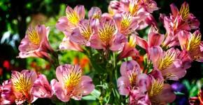 Альстромерия (50 фото): яркая и привлекательная лилия инков фото