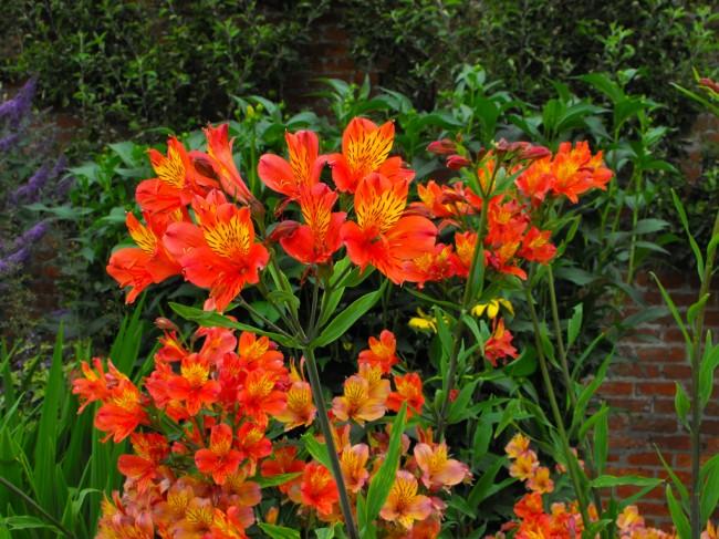 Кроваво-цветковая альстромерия отличается желтыми пятнами с четко выраженными границами на алых лепестках