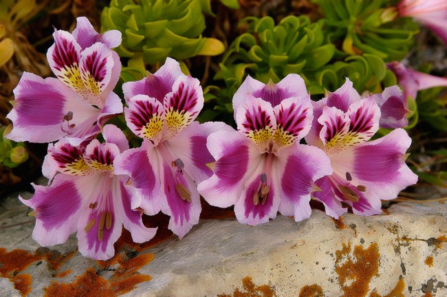 Альстромерия Пелегрина в естественной среде произрастания в горах Южной Америки