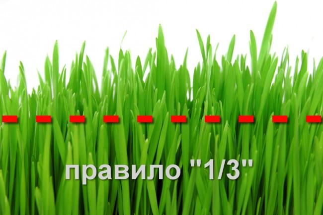 Электрическая газонокосилка. Состригать нужно не более 1/3 высоты травы - так ваш газон будет пышным и здоровым