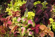 Фото 20 Колеус (54 фото): пестрое растение для украшения дома и сада