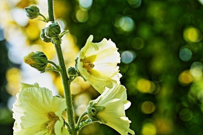 Чудесная мальва солнечно-желтого цвета