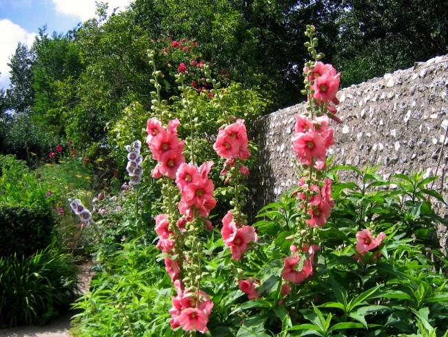 Мальва - не только красивый, но и полезный цветок