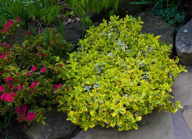 Летом бересклет привлекает своей сочной зеленью