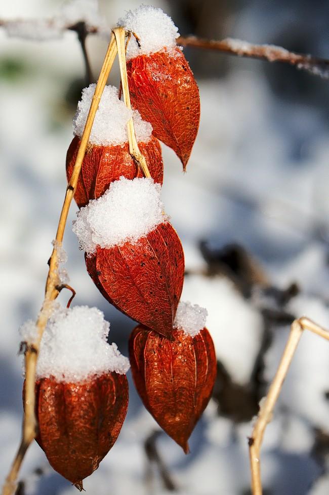 Даже холодной зимой физалис будет радовать своими яркими красками
