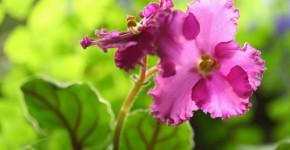 Особенности выращивания фиалок в домашних условиях — 70 фото фото