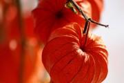 Фото 2 55+ фото Физалис — выращивание и грамотный уход