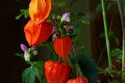 Фото 1 55+ фото Физалис — выращивание и грамотный уход