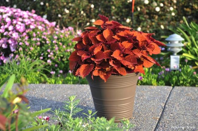 Колеус одно из самых популярных декоративных растений, которое привлекает своей окраской и формой листа