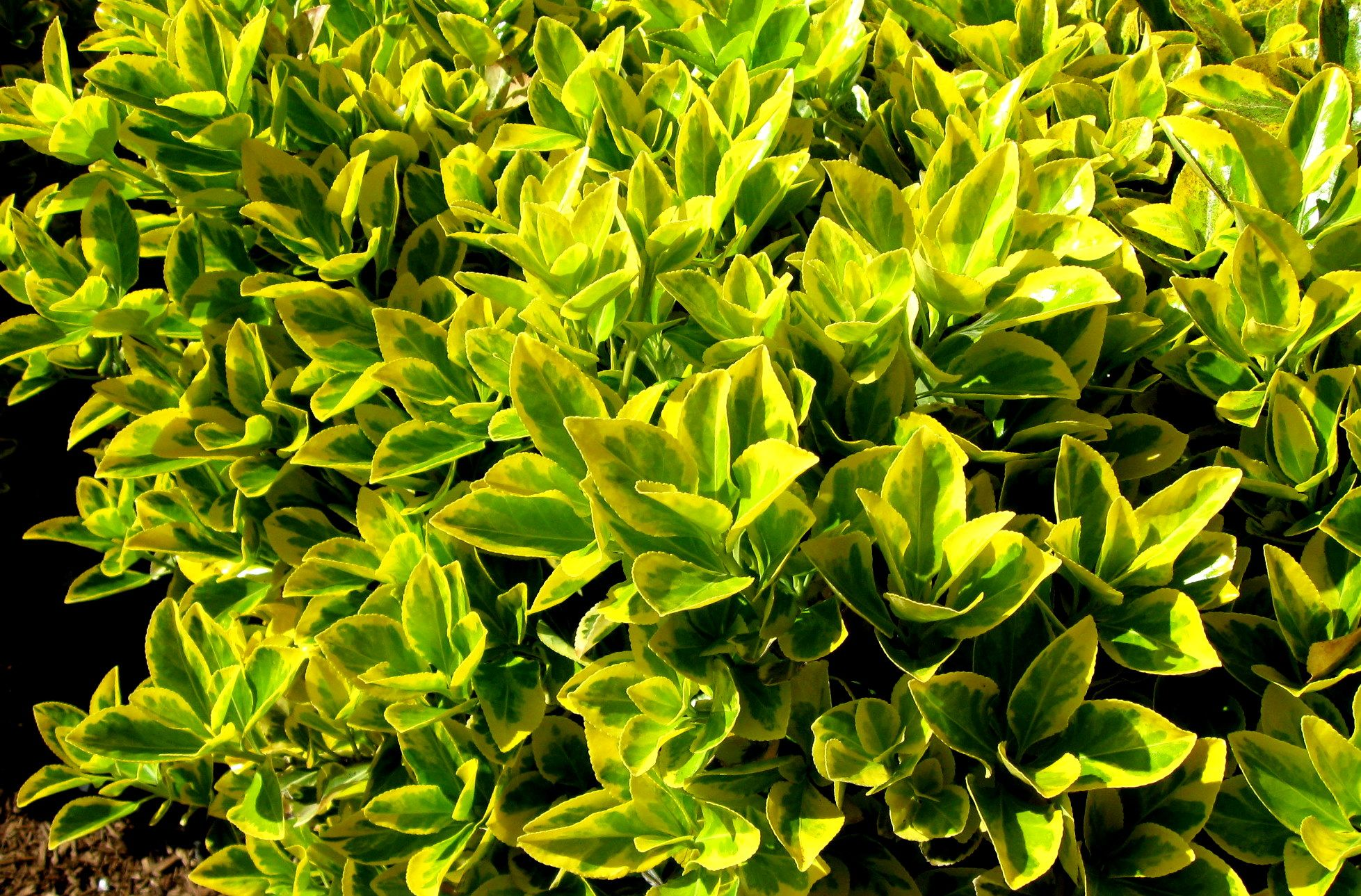 Цветок вереск в домашних условиях 73
