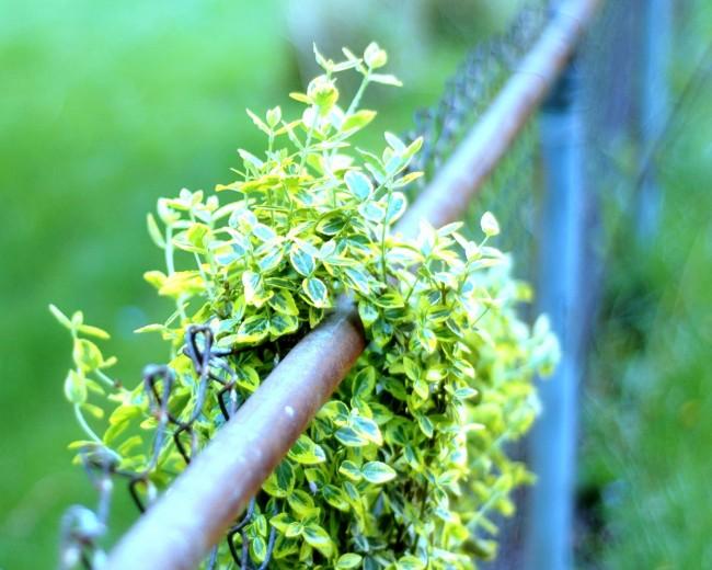 Украшением бересклета являются темно-зеленые, зубчатые, блестящие листья