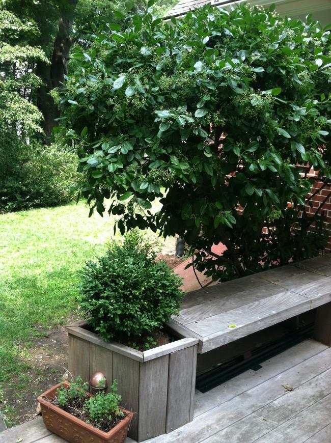 Опрыскивать Бересклеты лучше ежедневно, и не допускайте сквозняков, что бы не навредить вашему растению