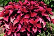 Фото 2 Колеус (54 фото): пестрое растение для украшения дома и сада