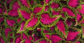 Колеус (54 фото): пестрое растение для украшения дома и сада фото