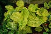 Фото 3 Колеус (54 фото): пестрое растение для украшения дома и сада