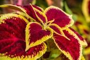 Фото 1 Колеус (54 фото): пестрое растение для украшения дома и сада