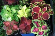 Фото 8 Колеус (54 фото): пестрое растение для украшения дома и сада