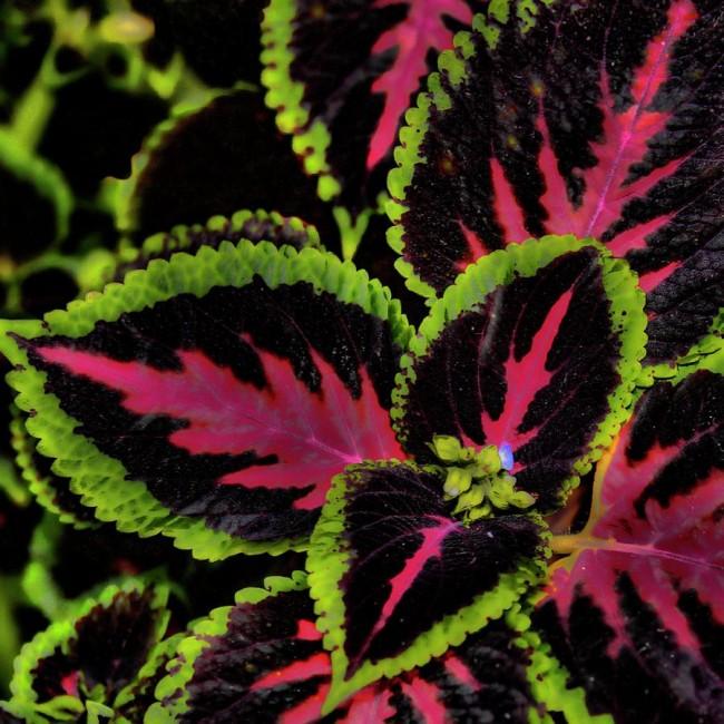 Прекрасный колеус не только не жалится, но и служит декоративным цветком