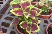 Фото 7 Колеус (54 фото): пестрое растение для украшения дома и сада