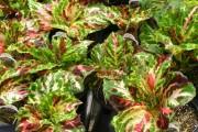 Фото 6 Колеус (54 фото): пестрое растение для украшения дома и сада