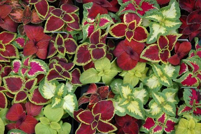 Колеус обладает удивительной способностью завоевывать симпатии садоводов - один раз пригласив ее в сад, в дальнейшем вы просто не сможете обходиться без этого неприхотливого растения