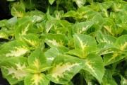 Фото 15 Колеус (54 фото): пестрое растение для украшения дома и сада