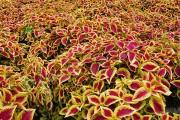 Фото 16 Колеус (54 фото): пестрое растение для украшения дома и сада