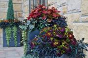 Фото 13 Колеус (54 фото): пестрое растение для украшения дома и сада