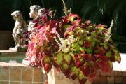 Фото 10 Колеус (54 фото): пестрое растение для украшения дома и сада