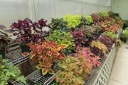 Фото 17 Колеус (54 фото): пестрое растение для украшения дома и сада