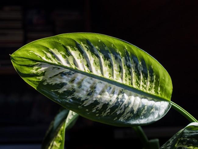 Нарядный лист диффенбахии