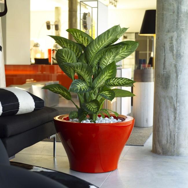 Пятнистая диффенбахия с упругими листьями с белыми прожилками - любимица цветоводов