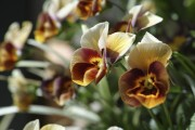 Фото 12 Особенности выращивания фиалок в домашних условиях — 70 фото